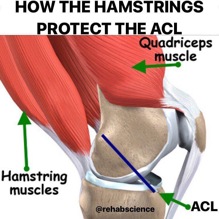 Hamstrings and the Anterior Cruciate Ligament – Back Into Motion ...